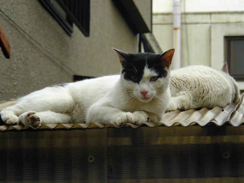トタン屋根の猫たち2