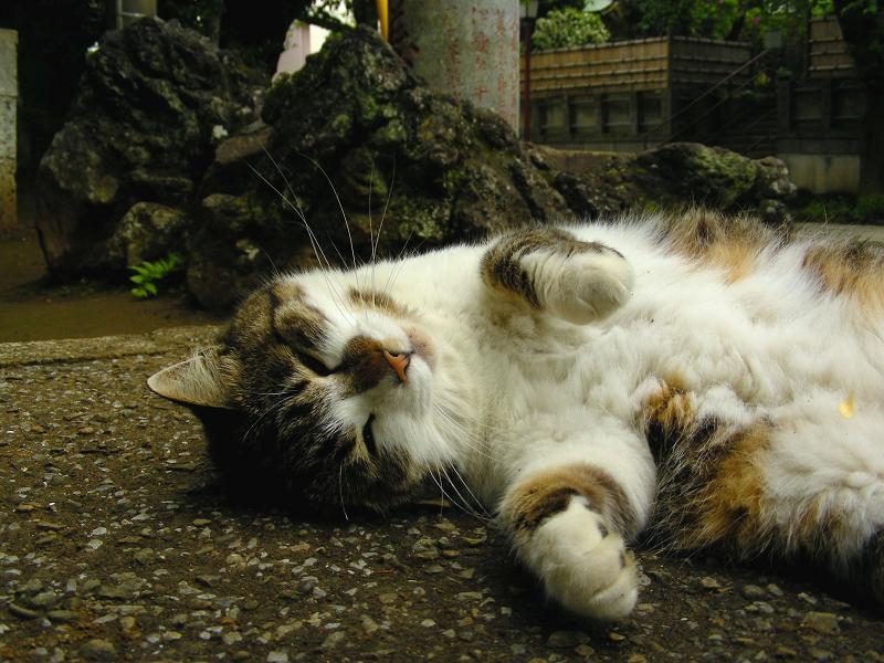 参道で仰向けのキジ白猫3