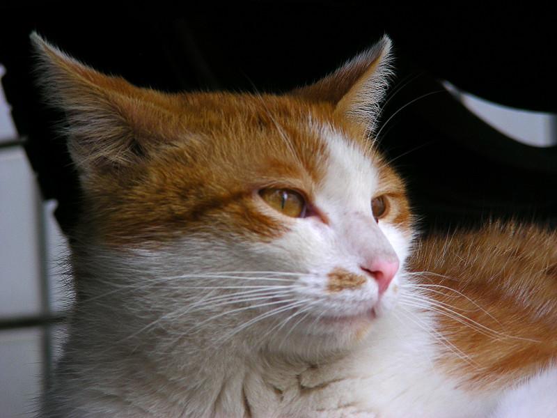 茶白猫のアップ1