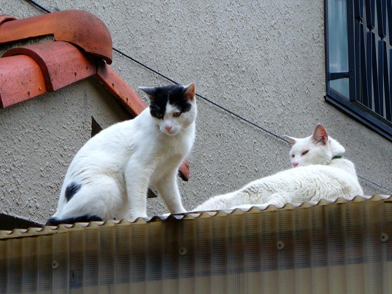 トタン屋根の猫たち3