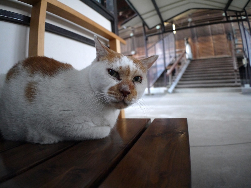 ベンチに座って見ている白茶猫