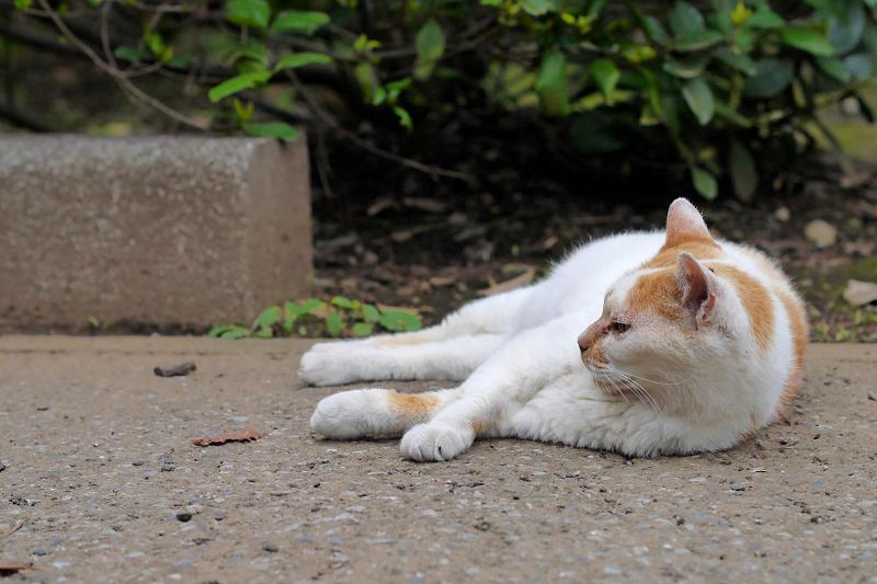 境内で寝転がっている白茶猫1