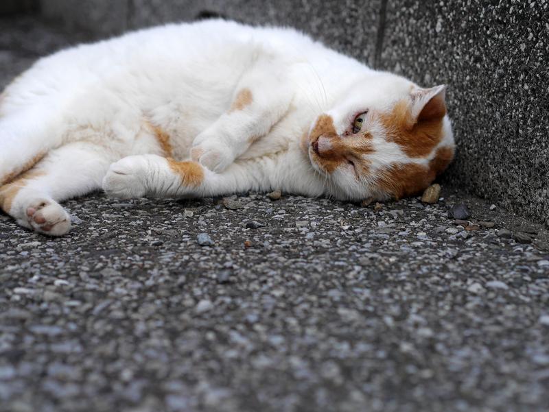 餃子のポーズの白茶猫1
