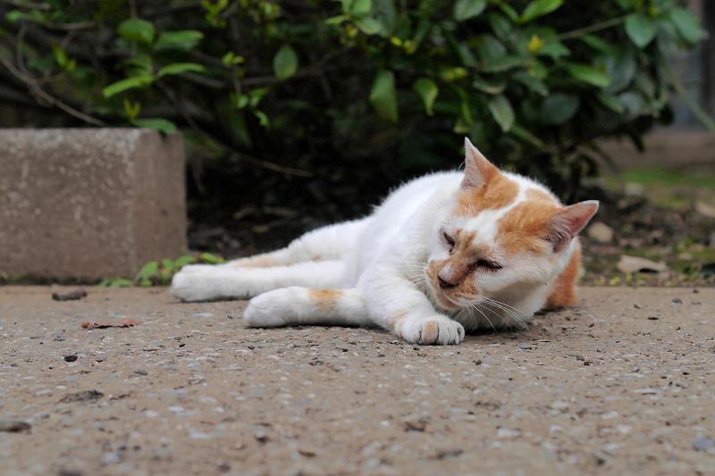 境内で寝転がっている白茶猫2