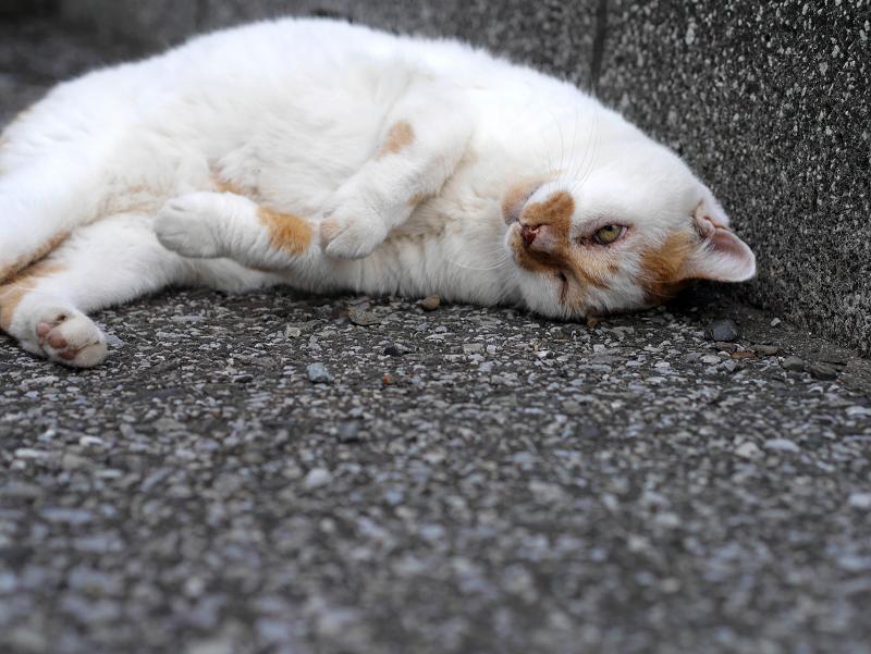餃子のポーズの白茶猫2