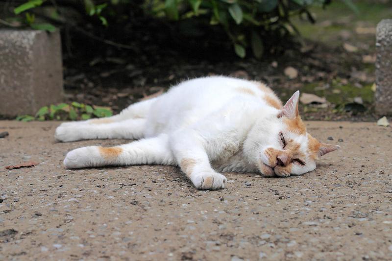 境内で寝転がっている白茶猫3