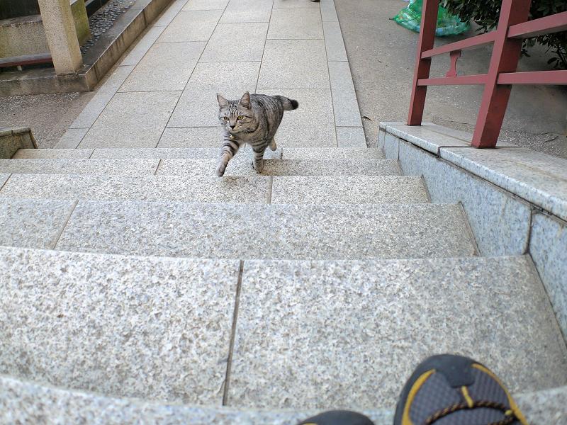 階段を駆け上がるサバトラ猫1
