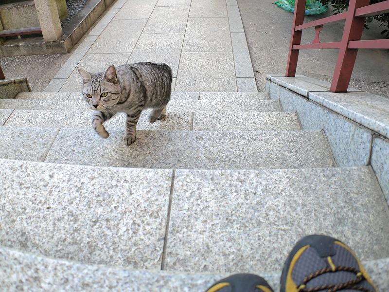 階段を駆け上がるサバトラ猫2
