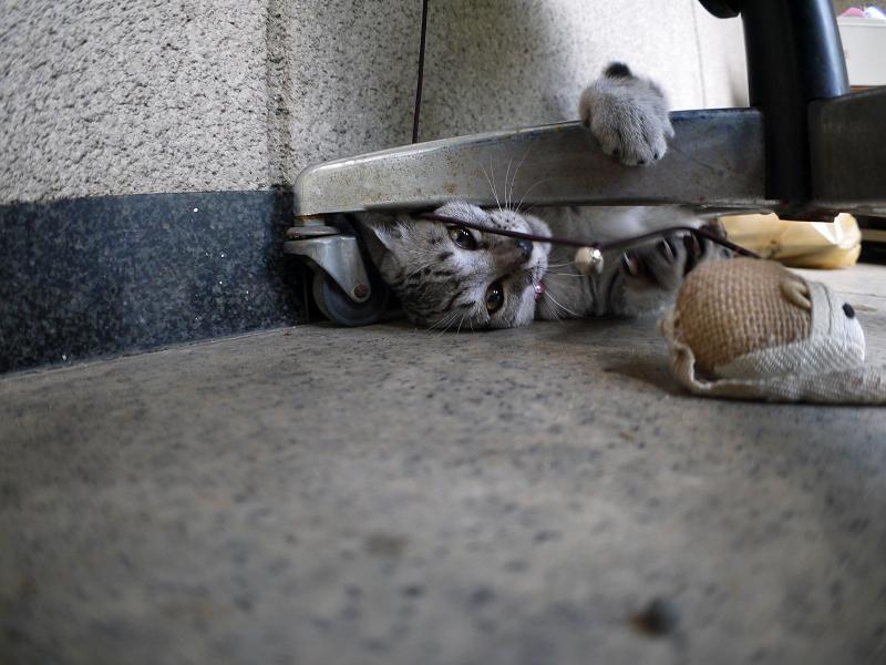 椅子の下で遊ぶサバトラ仔猫3