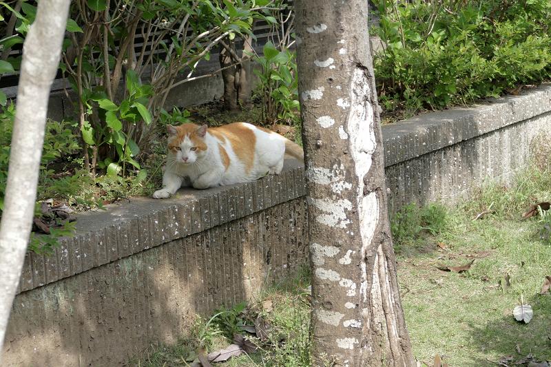 公園の端っこで寝始めた白茶猫1