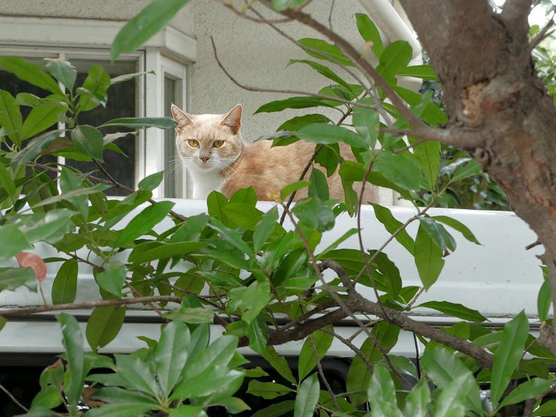 車の屋根から見ている茶トラ猫