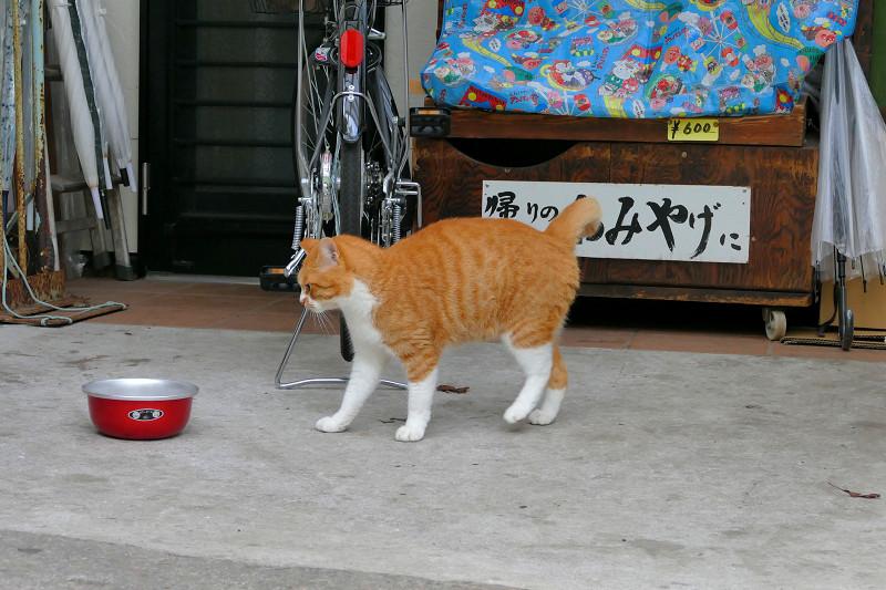 餌皿の前の茶白猫1
