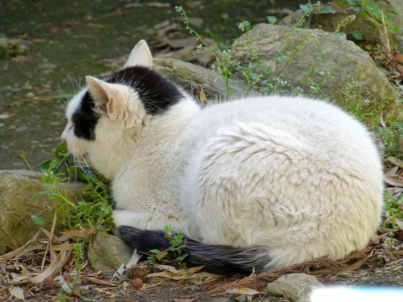 丸い体型の猫1