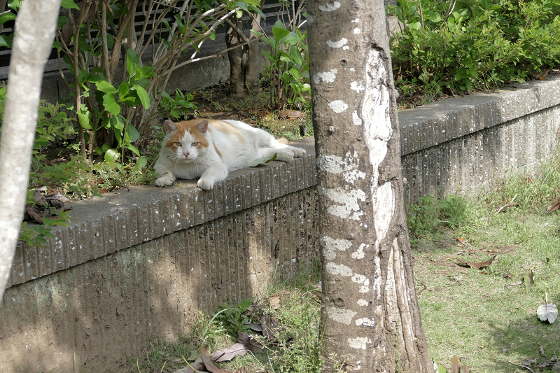 公園の端っこで寝始めた白茶猫2