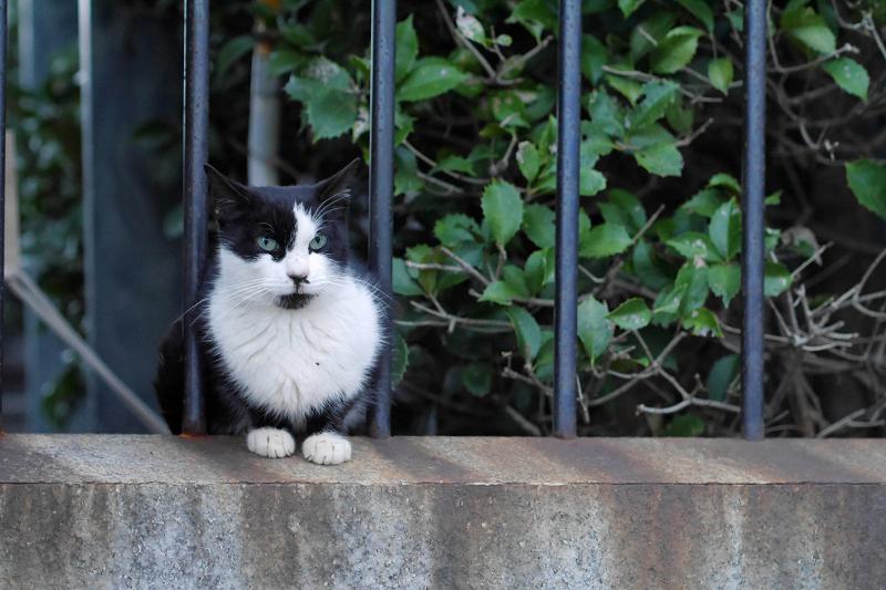 公園の柵にいた黒白猫3