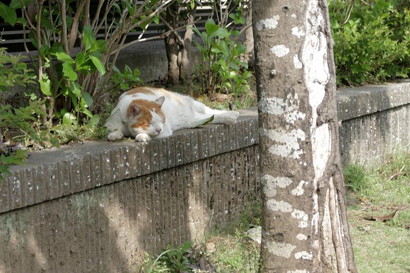 公園の端っこで寝始めた白茶猫3