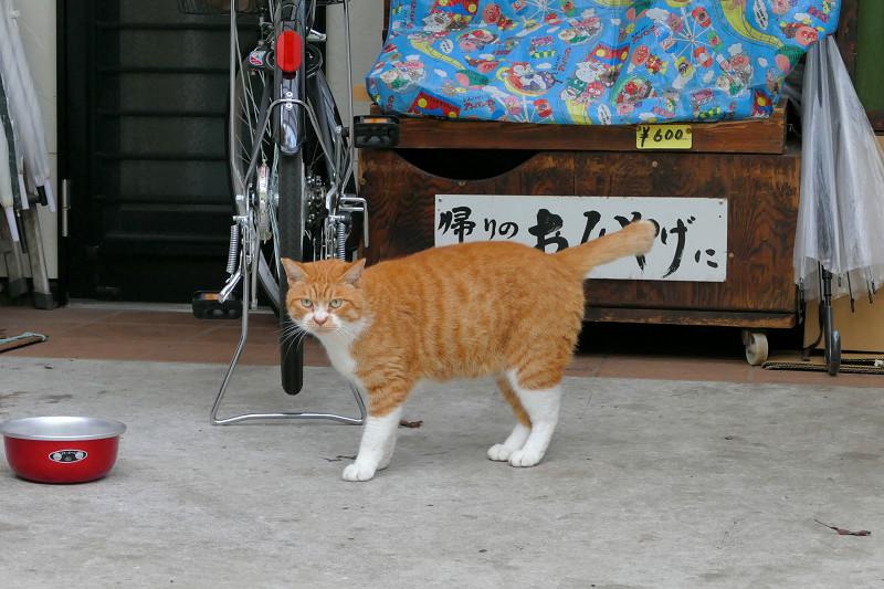 餌皿の前の茶白猫3