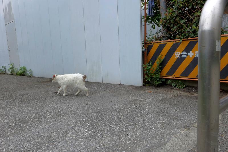 止まれで止まっている白キジ猫1