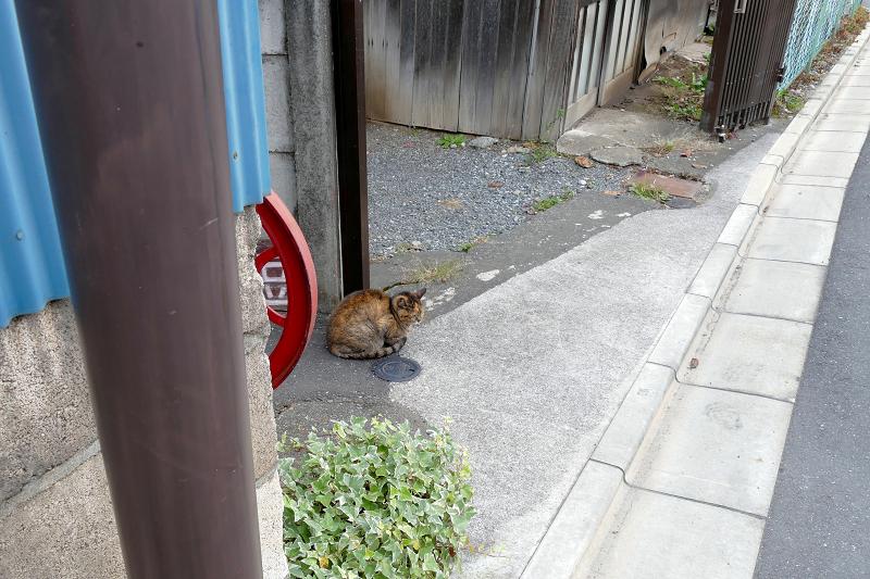 裏通りのサビ柄猫1