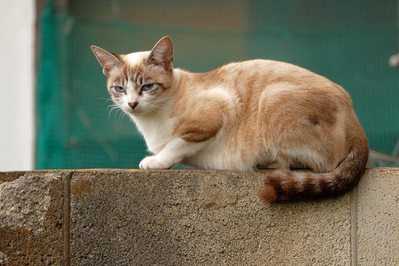 ブロック塀に座ったシャム風猫1