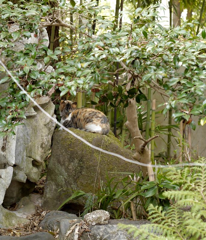 石庭の三毛猫1