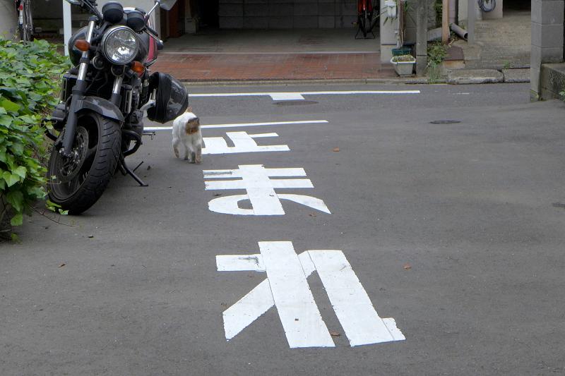 止まれで止まっている白キジ猫2