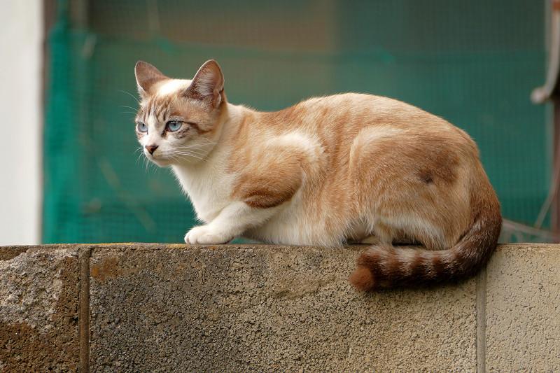 ブロック塀に座ったシャム風猫2