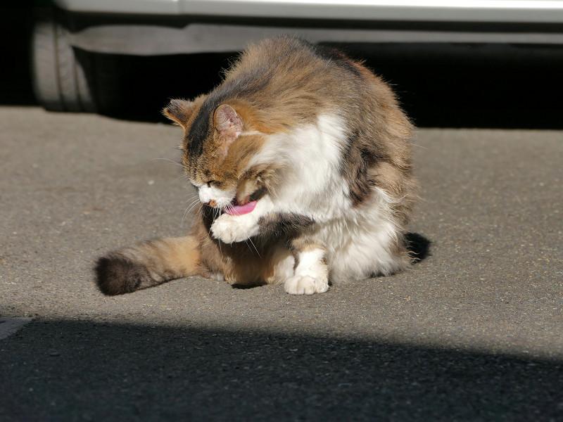 車の前で毛づくろいする毛長のキジ白猫2