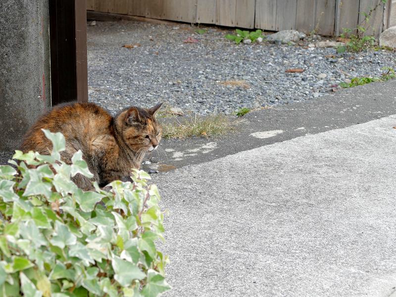 裏通りのサビ柄猫3