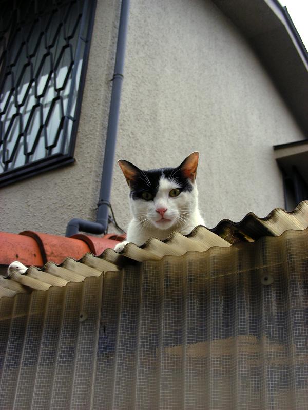 トタン屋根から見下ろす白黒猫1