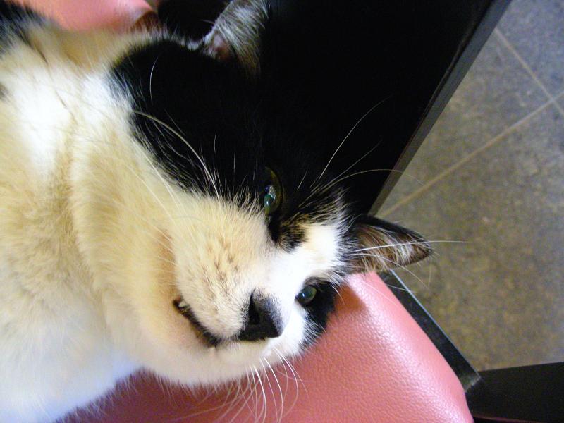 椅子の上で寝ている黒白猫2