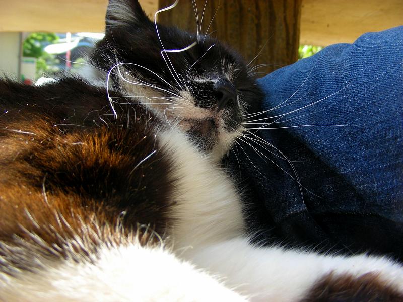 体を寄せて来た黒白猫2