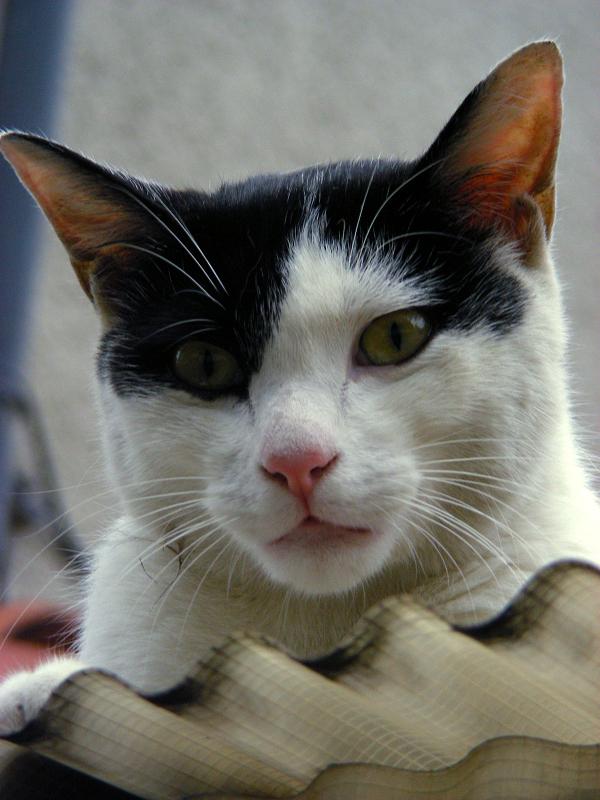 トタン屋根から見下ろす白黒猫2