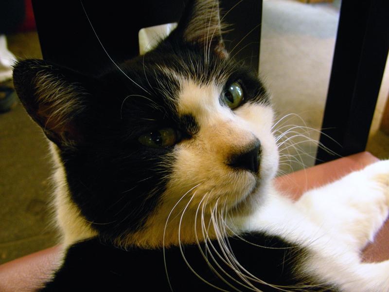 椅子の上で寝ている黒白猫3