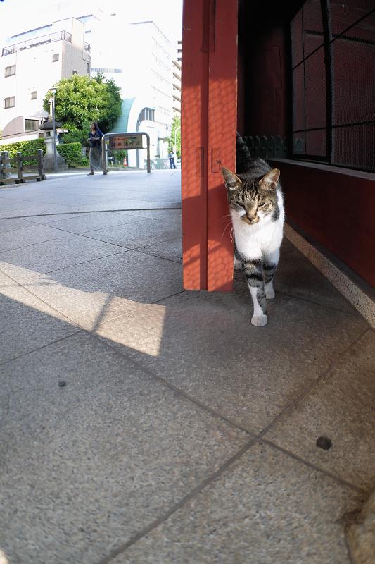 総門のキジ白猫1