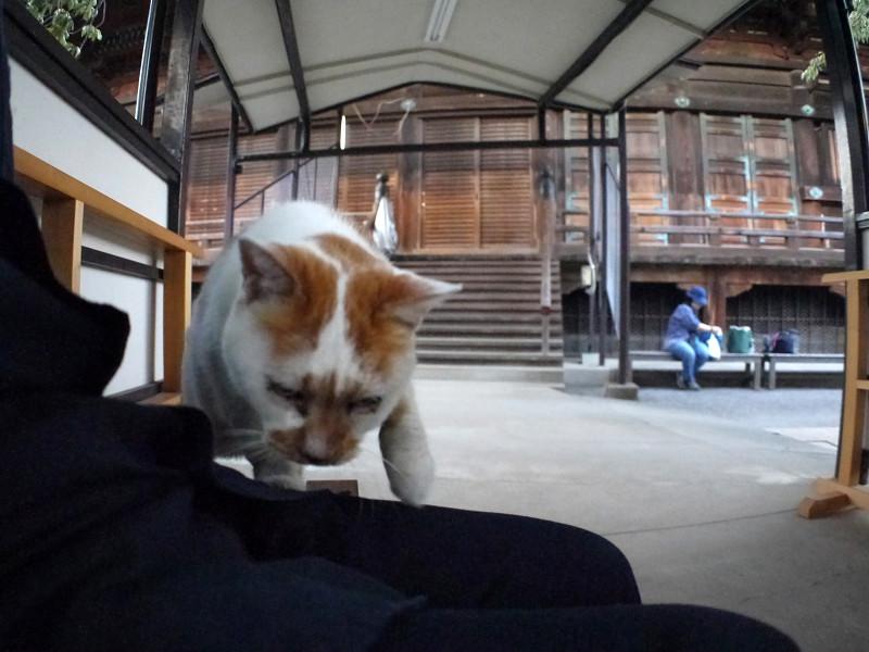 膝に乗ってくる白茶猫1