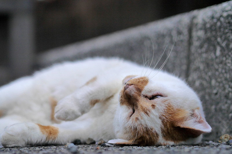 縁石の横で仰向けになる白茶猫1