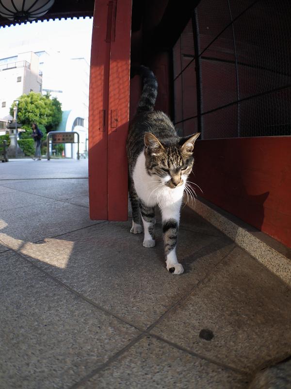 総門のキジ白猫2