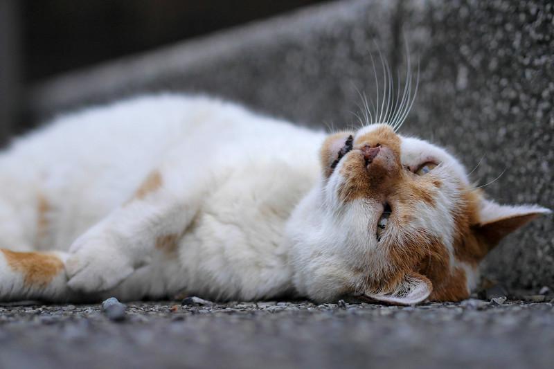 縁石の横で仰向けになる白茶猫2