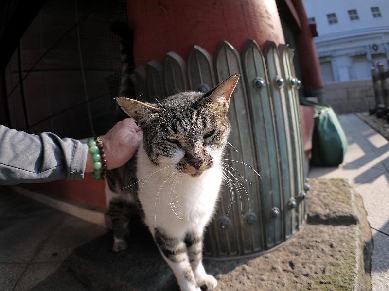 総門のキジ白猫3