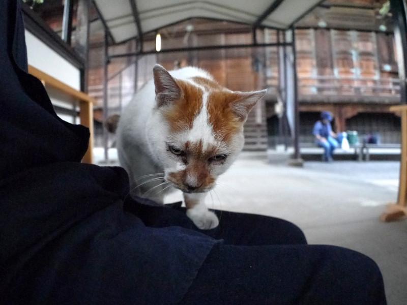 膝に乗ってくる白茶猫3