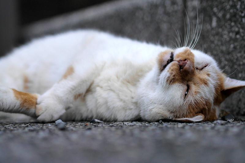 縁石の横で仰向けになる白茶猫3