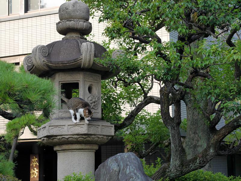石灯籠とキジ白猫4