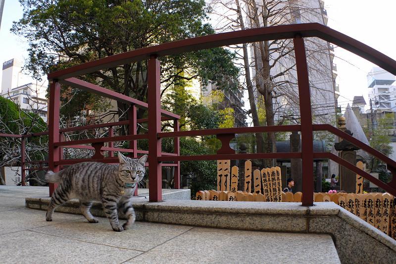 行ったり来たりするサバトラ猫1