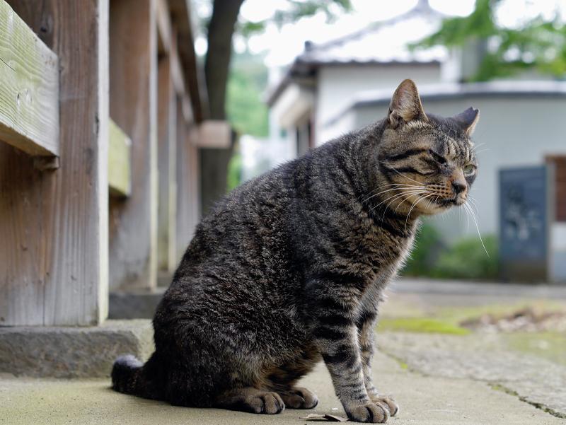 ベロを出しまくるキジトラ猫1