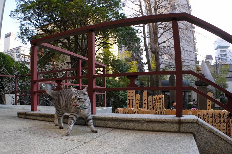 行ったり来たりするサバトラ猫2