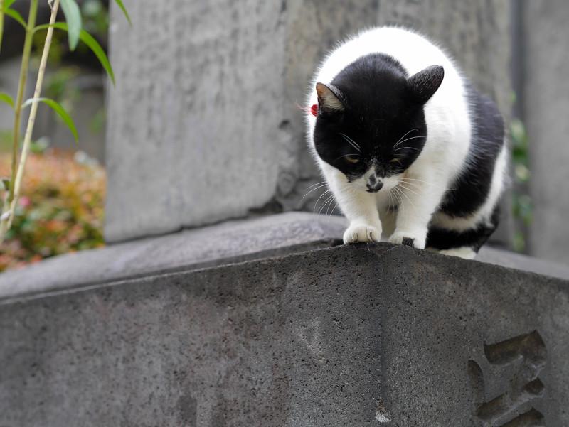 石碑と白黒猫2