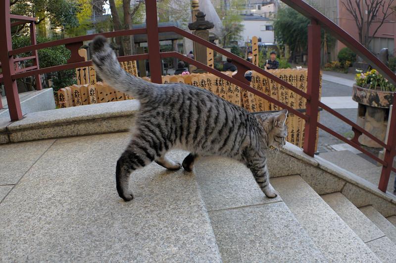 行ったり来たりするサバトラ猫3