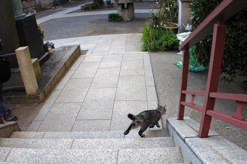 行ったり来たりするサバトラ猫4