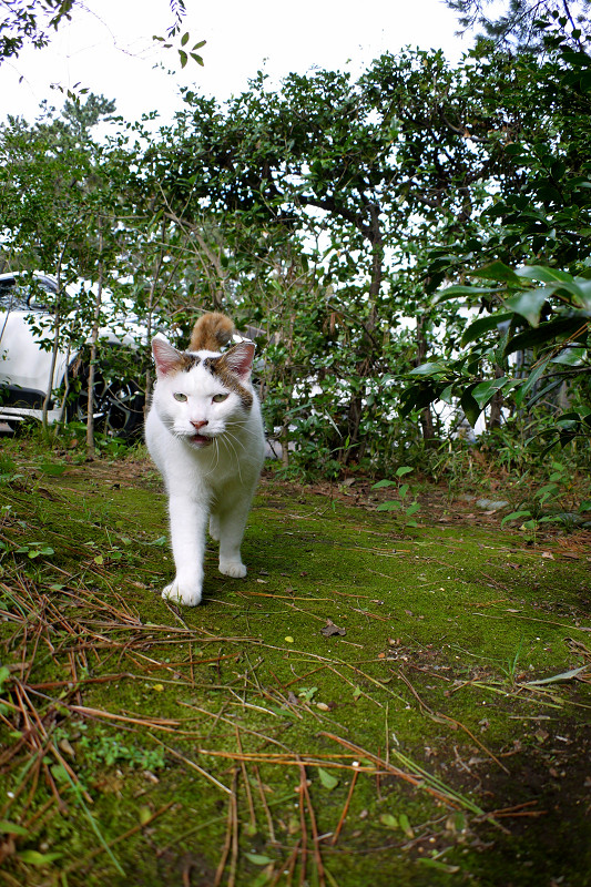 茂みから出て来た白キジ猫1